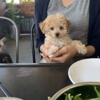 Poodle Puppies for sale in Carlsbad, CA, USA. price: NA