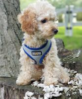 Poodle Puppies for sale in Branford, CT, USA. price: NA