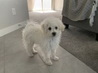 Poodle Puppies for sale in American Fork, UT 84003, USA. price: NA