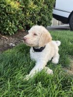 Poodle Puppies for sale in Vancouver, WA, USA. price: NA