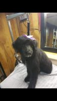 Poodle Puppies for sale in Grand Rapids, MI, USA. price: NA