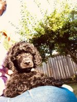Poodle Puppies for sale in Yelm, WA, USA. price: NA