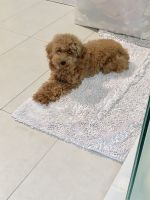 Poodle Puppies for sale in Hollywood, Los Angeles, CA, USA. price: NA