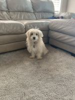 Poodle Puppies for sale in Edwardsville, IL, USA. price: NA
