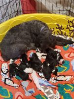 Poodle Puppies for sale in Owensville, MO 65066, USA. price: NA