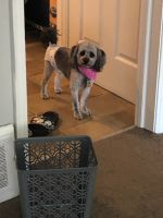 Poodle Puppies for sale in Euclid, OH, USA. price: NA