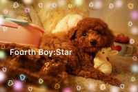 Poodle Puppies for sale in Irvine, CA, USA. price: NA