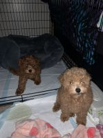 Poodle Puppies for sale in Baltimore, MD, USA. price: NA