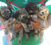 Poodle Puppies for sale in Delano, CA, USA. price: NA
