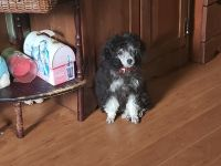 Poodle Puppies for sale in Cookeville, TN, USA. price: NA