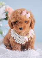 Poodle Puppies for sale in 1310 Graham Trace Ln, League City, TX 77573, USA. price: NA