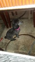 Poodle Puppies for sale in Willow Spring, Middle Creek, NC, USA. price: NA