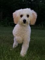 Poodle Puppies for sale in Stony Point, NY 10980, USA. price: NA
