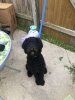 Poodle Puppies for sale in Killeen, TX, USA. price: NA