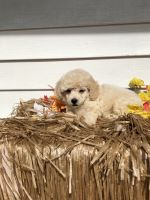 Poodle Puppies for sale in Chillicothe, OH 45601, USA. price: NA