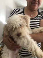 Poodle Puppies for sale in 1063 Ximeno Ave, Long Beach, CA 90804, USA. price: NA