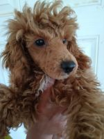 Poodle Puppies for sale in Winston-Salem, NC, USA. price: NA