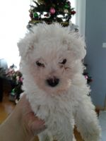 Poodle Puppies for sale in Des Plaines, IL, USA. price: NA