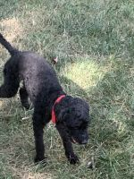 Poodle Puppies for sale in 1903 Dutch Village Dr, Hyattsville, MD 20785, USA. price: NA