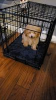 Poodle Puppies for sale in Brooklyn, NY, USA. price: NA