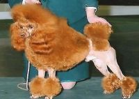 Poodle Puppies for sale in Sumner, WA, USA. price: NA