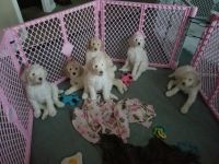 Poodle Puppies for sale in Milwaukee, WI, USA. price: NA