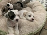 Poodle Puppies for sale in 10091 Flanner Ave, Garden Grove, CA 92840, USA. price: NA