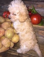Poodle Puppies for sale in Manchester, TN 37355, USA. price: NA