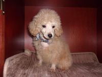 Poodle Puppies for sale in Fruitland, MD, USA. price: NA