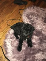 Poodle Puppies for sale in Chicago, IL, USA. price: NA