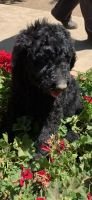 Poodle Puppies for sale in Monterey, CA, USA. price: NA