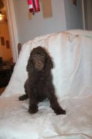 Poodle Puppies for sale in Dallas, TX 75234, USA. price: NA