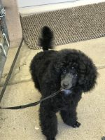Poodle Puppies for sale in Independence, OR, USA. price: NA