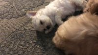 Poodle Puppies for sale in El Mirage, AZ, USA. price: NA