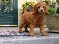 Poodle Puppies for sale in Newport, WA 99156, USA. price: NA