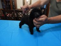 Poodle Puppies for sale in Zephyrhills, FL, USA. price: NA
