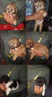 Poodle Puppies for sale in Indianapolis, IN, USA. price: NA