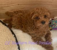 Poodle Puppies for sale in Magnolia, TX, USA. price: NA
