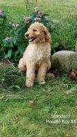 Poodle Puppies for sale in Coloma, MI 49038, USA. price: NA