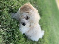 Poodle Puppies for sale in El Centro, CA, USA. price: NA