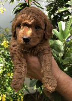 Poodle Puppies for sale in Fort Myers, FL, USA. price: NA