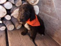 Poodle Puppies for sale in Strasburg, CO 80136, USA. price: NA