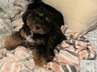 Poodle Puppies for sale in Garland, TX, USA. price: NA
