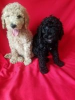 Poodle Puppies for sale in Whittier, CA, USA. price: NA