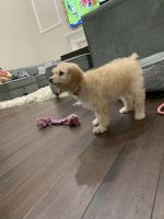 Poodle Puppies for sale in Novi, MI, USA. price: NA