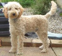Poodle Puppies for sale in Lakewood, CO, USA. price: NA