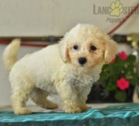 Poodle Puppies for sale in Manassas, VA, USA. price: NA