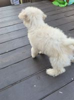 Poodle Puppies for sale in 7423 June Evening Dr, Arlington, TX 76001, USA. price: NA