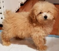 Poodle Puppies for sale in Brooklyn, NY 11221, USA. price: NA
