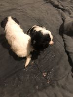 Poodle Puppies for sale in Irvington, NJ 07111, USA. price: NA